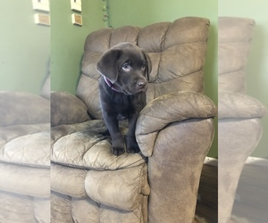 Labrador Retriever Puppy for sale in OVID, MI, USA