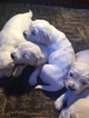 Golden Retriever Puppy For Sale in WEST JORDAN, UT,