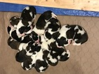 Saint Bernard Puppy For Sale in BRADFORD, IL,