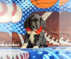 Cocker Spaniel-Unknown Mix Puppy for sale in CHRISTIANA, PA, USA