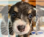 Puppy 2 Welsh Cardigan Corgi