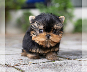 Yorkshire Terrier Puppy for sale in CHINO HILLS, CA, USA