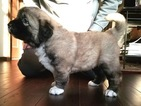 AKC registered Caucasian Shepherd Puppies for sale