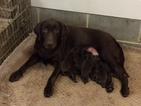 Labrador Retriever Puppy For Sale in TRINITY, NC