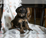 Puppy 9 F2 Aussiedoodle