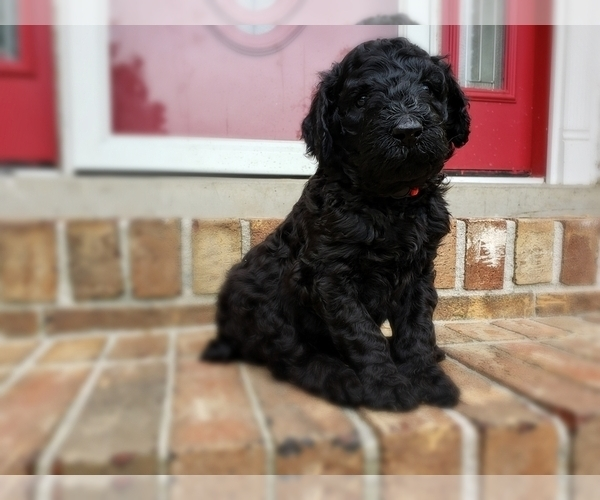 Medium Photo #26 Poodle (Standard) Puppy For Sale in DYERSBURG, TN, USA