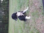 Great Dane Puppy For Sale in OCALA, FL