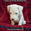 Small Photo #16 Dogo Argentino Puppy For Sale in PINEVILLE, MO, USA