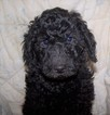 Goldendoodle Puppy For Sale in WEIR, KS