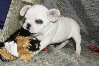 French Bulldog Puppy For Sale in MIDDLEBURG, FL, USA