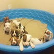 American Pit Bull Terrier Puppy For Sale near 64134, Kansas City, MO, USA