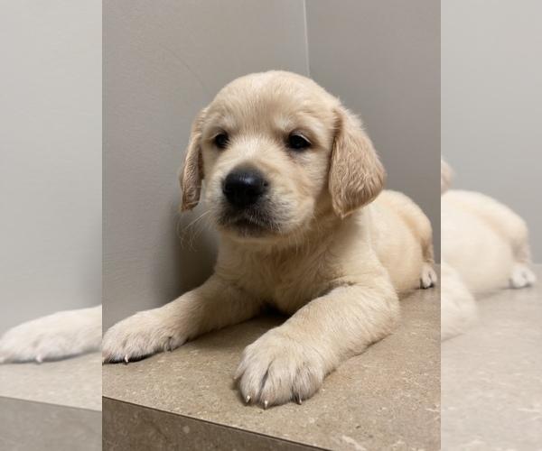 Medium Photo #11 Golden Retriever Puppy For Sale in PIEDMONT, SC, USA