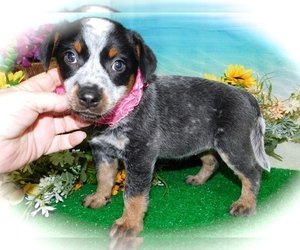 Australian Cattle Dog Puppy for sale in HAMMOND, IN, USA