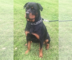 Rottweiler Puppy for sale in POLO, MO, USA