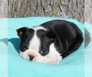 Boston Terrier Puppy for sale in HUGHESVILLE, MD, USA