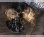 Small #5 Silkshire Terrier-Yorkshire Terrier Mix