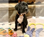 Puppy 6 Boxador-Boxer Mix