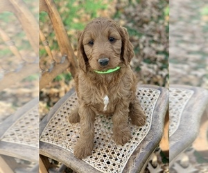Irish Doodle Puppy for Sale in WOOSTER, Ohio USA