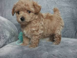 Poodle (Toy) Puppy for sale in SOMERSET, PA, USA