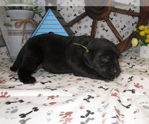 Labrador Retriever Dog for Adoption in AUSTIN, Kansas USA