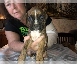 Boxer Puppy for Sale in BISMARCK, Arkansas USA