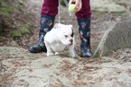American Bully Puppy For Sale in FRESNO, CA, USA