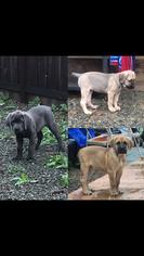Cane Corso Puppy For Sale in FAIRFIELD, CA, USA