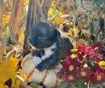 Small #4 Chihuahua