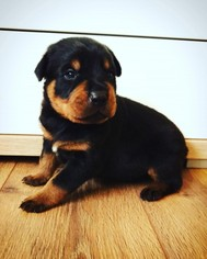 Rottweiler Puppy For Sale in BRONX, NY
