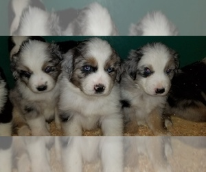 Australian Shepherd Puppy for Sale in DUVALL, Washington USA