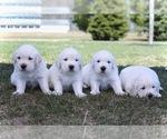 Small Photo #4 English Cream Golden Retriever Puppy For Sale in NAPPANEE, IN, USA