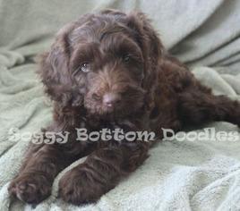 Labradoodle Puppy For Sale in DEMOPOLIS, AL