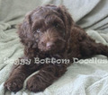 Labradoodle Puppy For Sale in DEMOPOLIS, AL