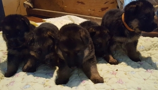 German Shepherd Dog Puppy For Sale in TERLTON, OK