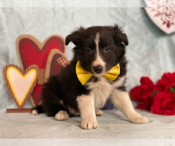 Medium Photo #3 Border Sheepdog Puppy For Sale in LANCASTER, PA, USA
