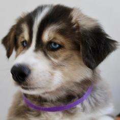 Siberian Husky Puppy For Sale in COLORADO SPRINGS, CO, USA