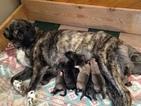 Anatolian Shepherd Puppy For Sale in BULLS GAP, TN
