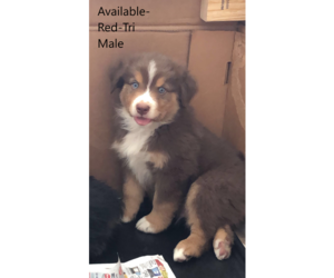 Australian Shepherd Puppy for Sale in HARBOR SPRINGS, Michigan USA