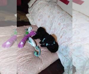 Poodle (Standard) Puppy for Sale in SAINT HELENA ISLAND, South Carolina USA
