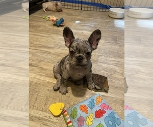 French Bulldog Puppy for Sale in N HOLLYWOOD, California USA