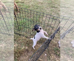Rat Terrier Puppy for Sale in TIMPSON, Texas USA
