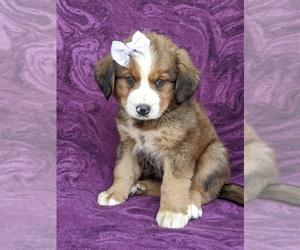 Bernese Mountain Dog Mix Dog for Adoption in AIRVILLE, Pennsylvania USA