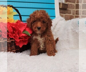 Goldendoodle-Poodle (Miniature) Mix Puppy for Sale in GAP, Pennsylvania USA