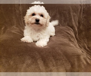 Maltipoo Puppy for Sale in WHITTIER, California USA