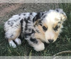 Australian Shepherd Puppy for sale in SEMINOLE, TX, USA