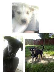 German Shepherd Dog-Siberian Husky Mix Puppy for sale in TONGANOXIE, KS, USA