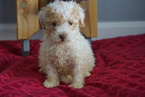 Poodle (Miniature) Puppy For Sale in FREDERICKSBURG, OH, USA