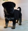 German Shepherd Dog Puppy For Sale in MORRISVILLE, MO, USA