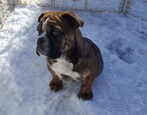 View Ad Olde English Bulldogge Puppy For Sale New York