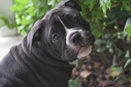 Olde English Bulldogge Puppy For Sale in VALDOSTA, Georgia,
